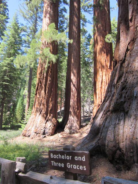 mariposa grove in yosemite  home of giant sequoias